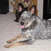 Blue Rodeo - Sit Happens Dog Training - Featured Puppy