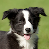 Calypso - Sit Happens Dog Training - Featured Puppy