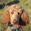 Rufus - Sit Happens Dog Training - Featured Puppy