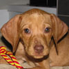 Rusty - Sit Happens Dog Training - Featured Puppy